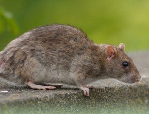 Užitočné rady proti potkanov vo voľnom prostredí